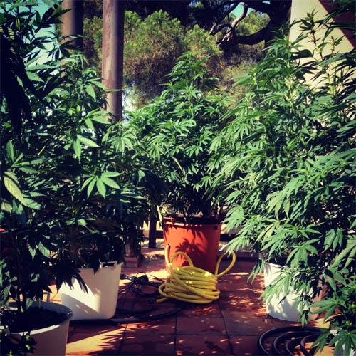 Outdoor-Grow auf der Terrasse