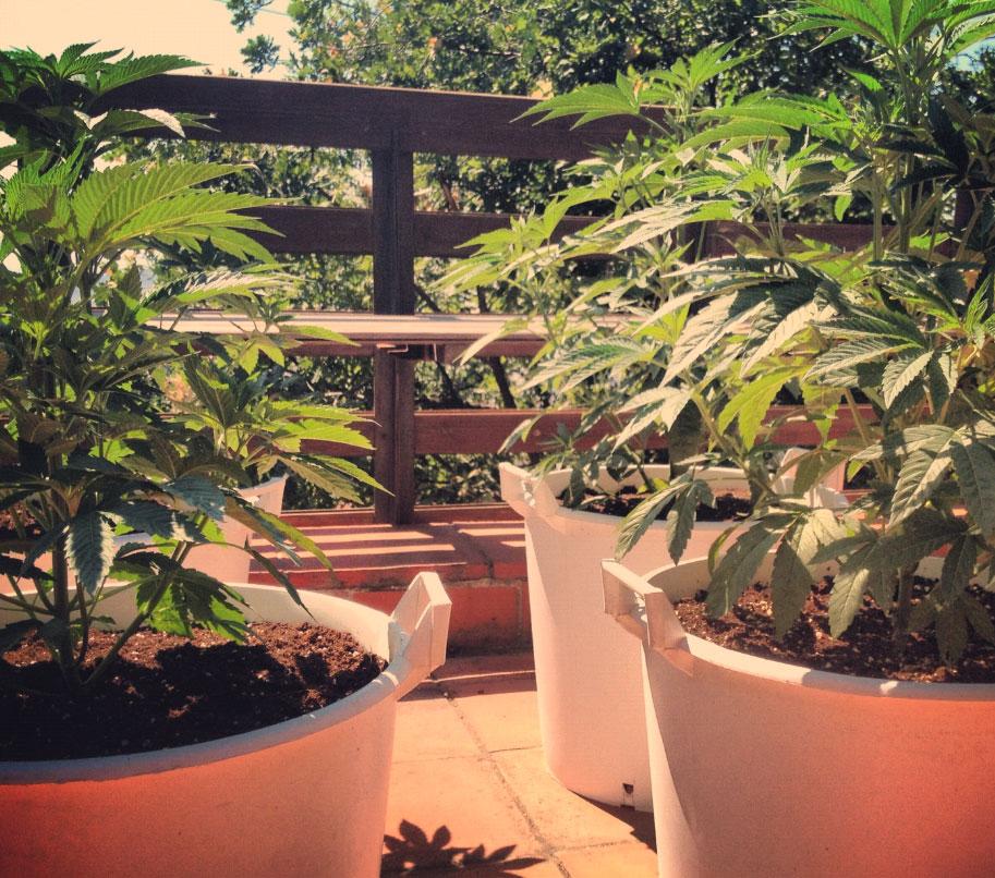 Marijuana Anbau Auf Der Terrasse Und Dem Balkon