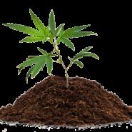 Cannabis in Kompost anbauen