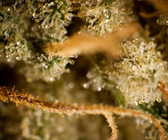 Tropimango von Philosopher Seeds: 3, 5 und 25 feminisierte Samen