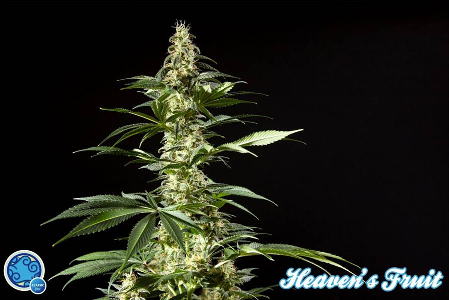 Heaven's Fruit (Philosopher Seeds) feminisierte Samen