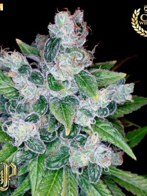 Kandy Kush (Reserva Privada) 13 regular Samen