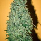 Californian Dream (Mandala Seeds), 6 feminisierte Samen