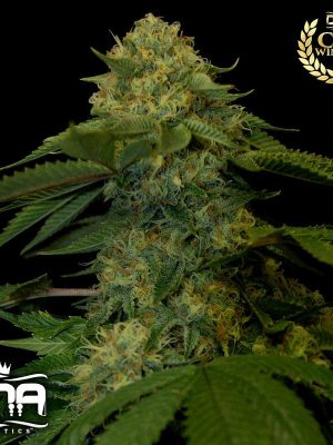 Holy Grail Kush (DNA Genetics), 6 feminisierte Samen