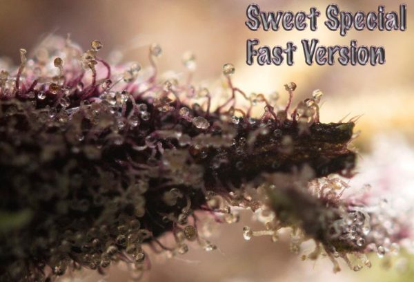 Sweet Special Fast Version (Sweet Seeds)