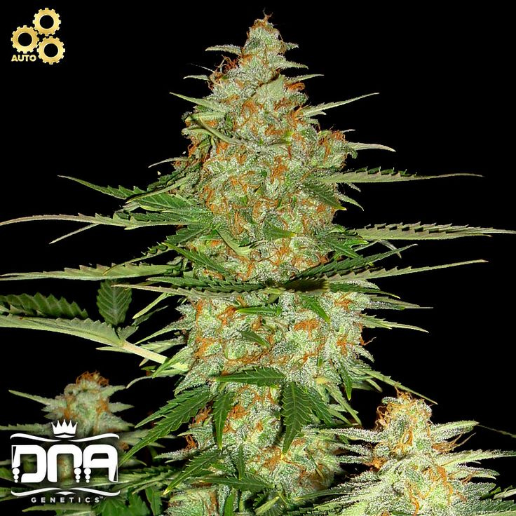 60 Days Wonder (DNA Genetics), 6 feminisierte Samen, auto