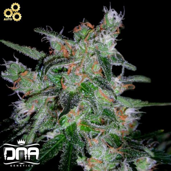 60 Day Lemon / DNA Genetics, 6 feminisierte Samen, Automatic