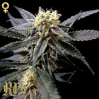 Strawberry Banana (Reserva Privada) 6 feminisierte Samen