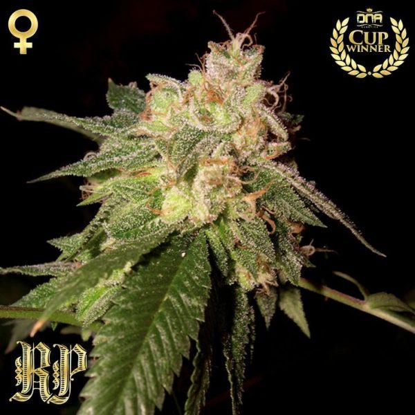 OG Kush (Reserva Privada, DNA), 6 feminisierte Samen