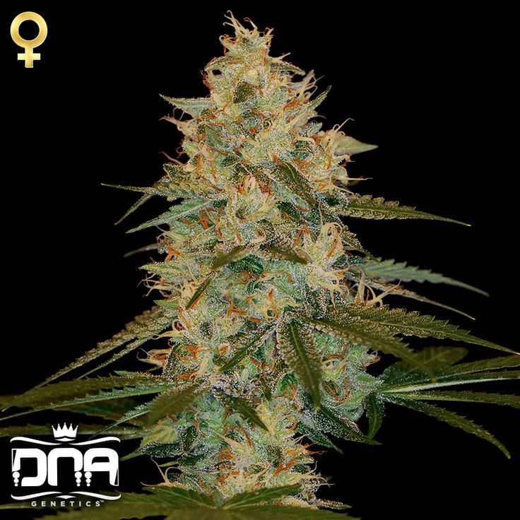Chocolate Kush (DNA Genetics), 3 feminisierte Samen