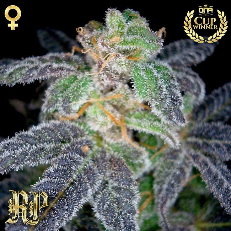 Purple OG #18 (Reserva Privada), 3 feminisierte Samen