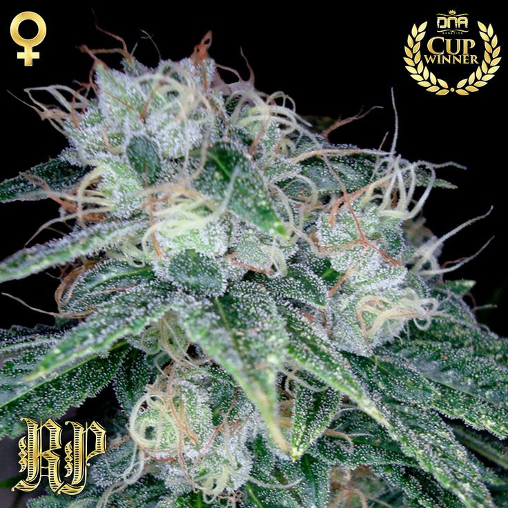 Sour Diesel (Reserva Privada), 13 regular Seeds