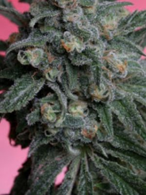 A-Train (T.H. Seeds), 5 oder 10 regular Seeds