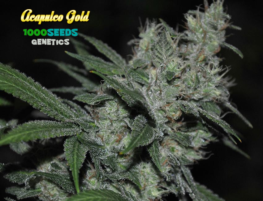 Acapulco Gold (1000Seeds Genetics)