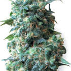 Afghan Kush (White Label), 10 regular Seeds