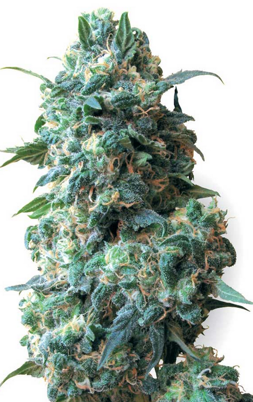 Afghan Kush (White Label), 10 regular Seeds