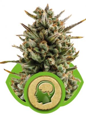 Amnesia Haze Auto (Royal Queen Seeds), 5 autoflowering Samen