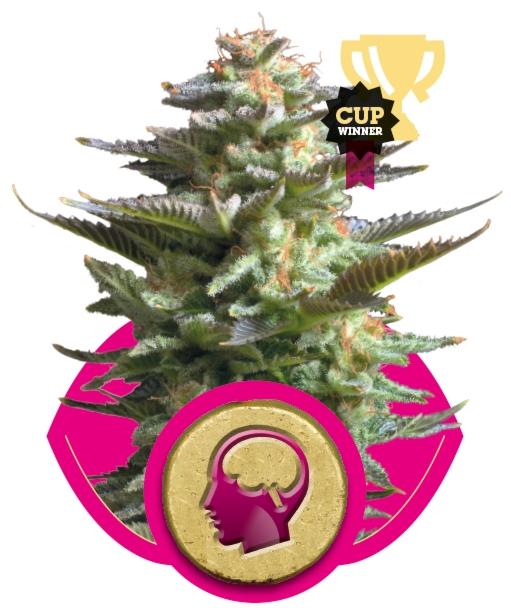 Amnesia Haze (Royal Queen Seeds), 3 feminisierte Samen