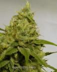 Amnesia Haze (Soma Seeds), 5 feminisierte Samen