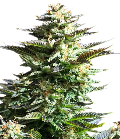 Amnesia Haze (Royal Queen Seeds), 3 feminisierte Samen