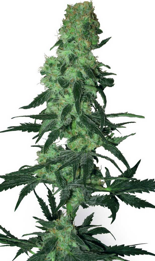 Amnesia White ( White Seeds), 10 regular Seeds