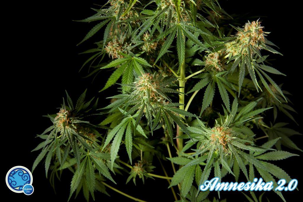 Amnesika 2.0 (Philosopher Seeds) feminisiert