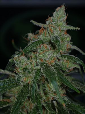 Apollo-13 BX (TGA Subcool), 5 oder 10 regular Seeds