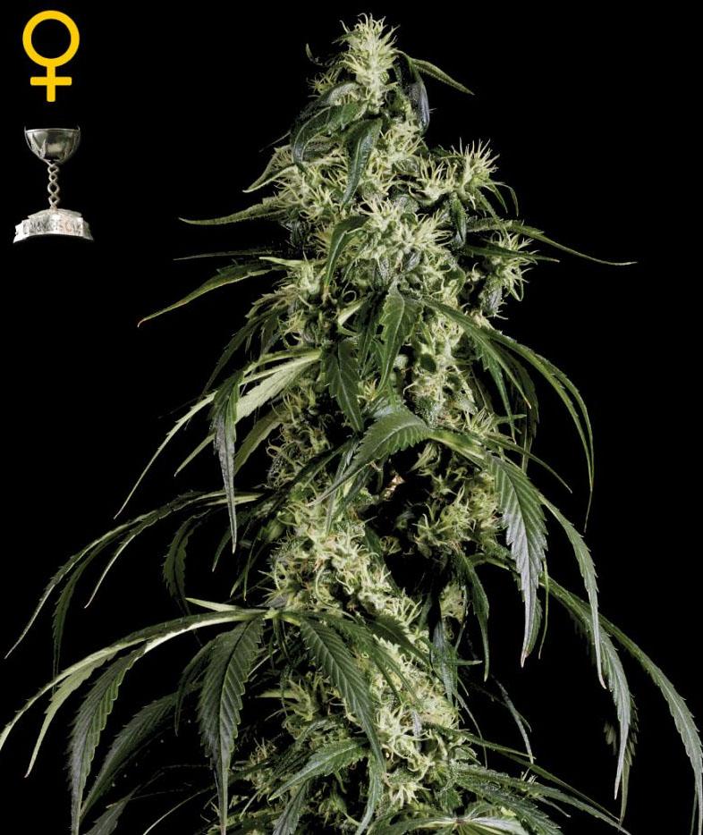 Arjan's Haze #1 (Green House Seed), feminisierte Samen