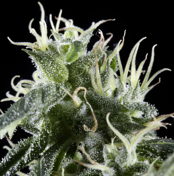 Arjan's Haze #2 (Green House Seed), feminisierte Samen