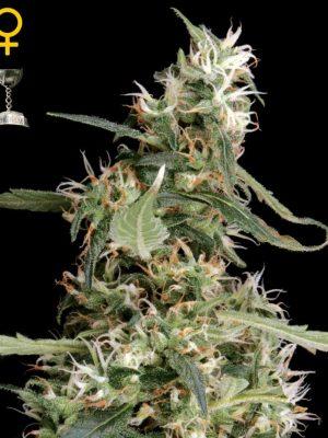 Arjan's Ultra Haze #1 (Green House Seed), feminisierte Samen