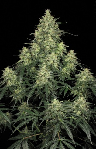 Atomical Haze (Paradise Seeds), feminisierte Samen