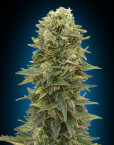 Auto Afghan Mass (00 Seeds), 5 automatic Seeds