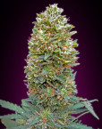 Auto Bubble Gum (00 Seeds), 5 automatic Seeds