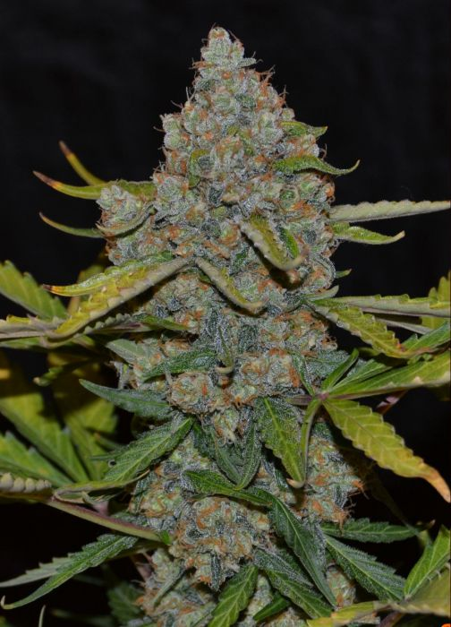 Auto CBG (Cannabiogen), 5 automatic Seeds