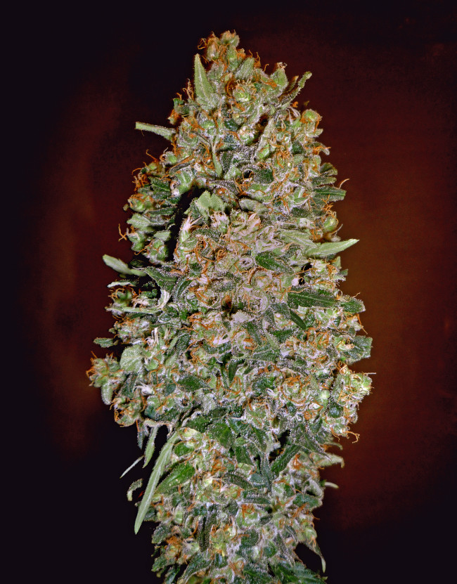 Auto Chocolate Skunk (00 Seeds), 5 automatic Seeds