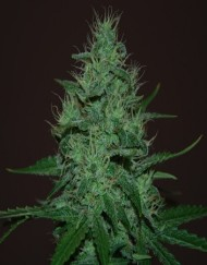 Auto Haze (female Seeds), 5 automatic Seeds