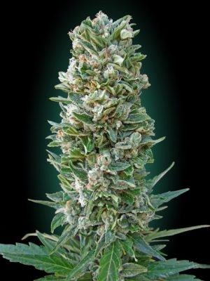 Auto Heavy Bud (Advanced Seeds), autoflowering Samen