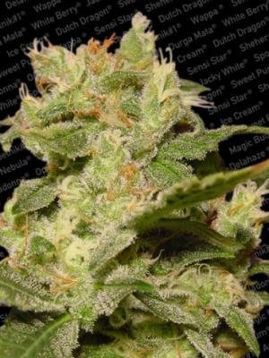 Auto Jack (Paradise Seeds), autoflowering Samen