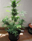 Auto Speed Bud (female Seeds) 4 automatic Seeds