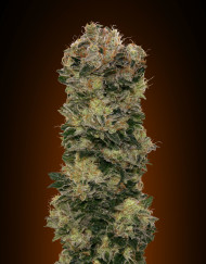 Auto Sweet Soma (00 Seeds), 5 automatic Seeds