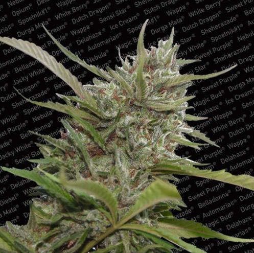 Auto Whiteberry (Paradise Seeds), autoflowering Samen