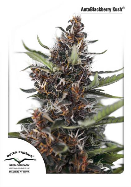 Auto BlackberryKush (Dutch Passion), 3 oder 7 autofeminisierte Samen