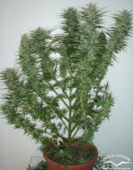 AutoBlueberry (Dutch Passion) autofeminisierte Samen