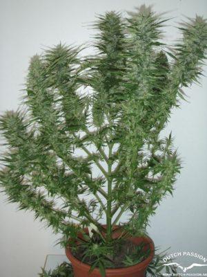 AutoBlueberry (Dutch Passion) autofeminisierte Samen