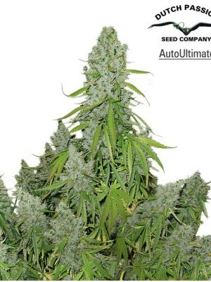 AutoUltimate (Dutch Passion), autoflowering Samen
