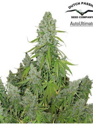 AutoUltimate (Dutch Passion), autoflowering Samen