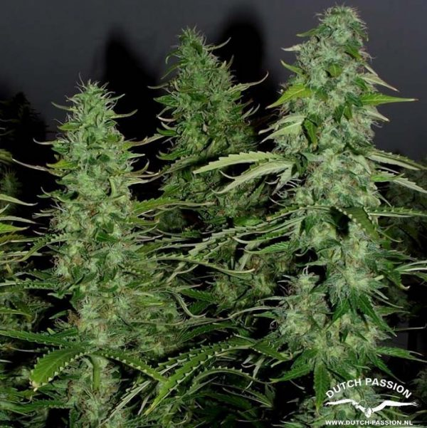 Auto White Widow (Dutch Passion), 3 autoflowering Samen
