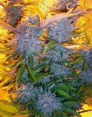 Blue Mammoth Auto (Barney's Farm), 5 feminisierte Samen