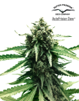 AutoFrisian Dew (Dutch Passion), 3 autoflowering Seeds