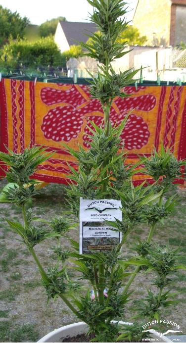 AutoFrisian Dew (Dutch Passion), 3 autoflowering Seeds